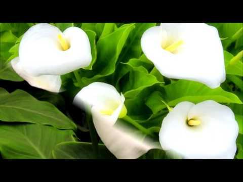 Цветочный магазин. Комнатные растения, цветы. Орхидеи. Цветок РАЙСКАЯ ПТИЦА.