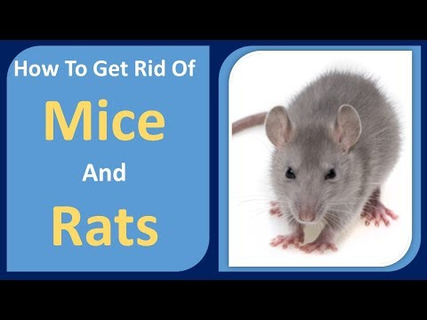 How To Get Rid Of Mice And Rats   Peppermint Oil & Cloves  Home Remedy