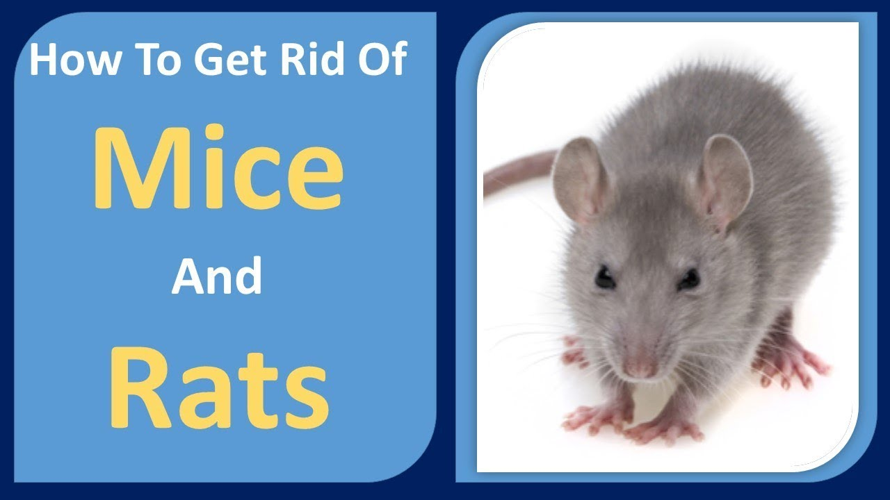 How to get rid of mice and rats peppermint oil cloves home how to get rid of mice and rats peppermint oil cloves home remedy ccuart Gallery