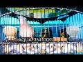 Suara Perkutut Anak Ring Aqua Bird Farm  Mp3 - Mp4 Download