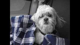 Why Bichon Shih Tzu's Are Awesome...