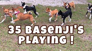 35 Basenji's Playing! || South Florida Basenji Meetup