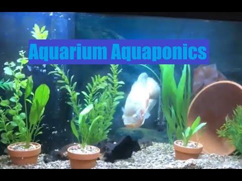 Aquarium Aquaponics In A 75 Gallon Oscar Aquarium With A Sump Filter