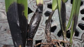 DEADLY ORCHID INFECTION & ROTTING- HOW TO FIGHT & PREVENT