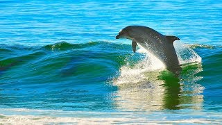 Бесстрашный дельфин. Разгон на берег.