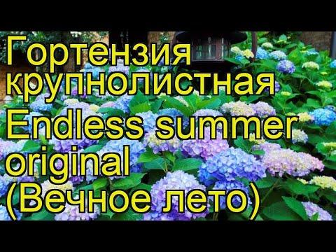 Гортензия крупнолистная Endless summer original. Краткий обзор, описание характеристик