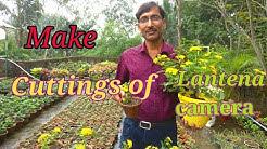 How to Grow Cuttings of Lantana camara.