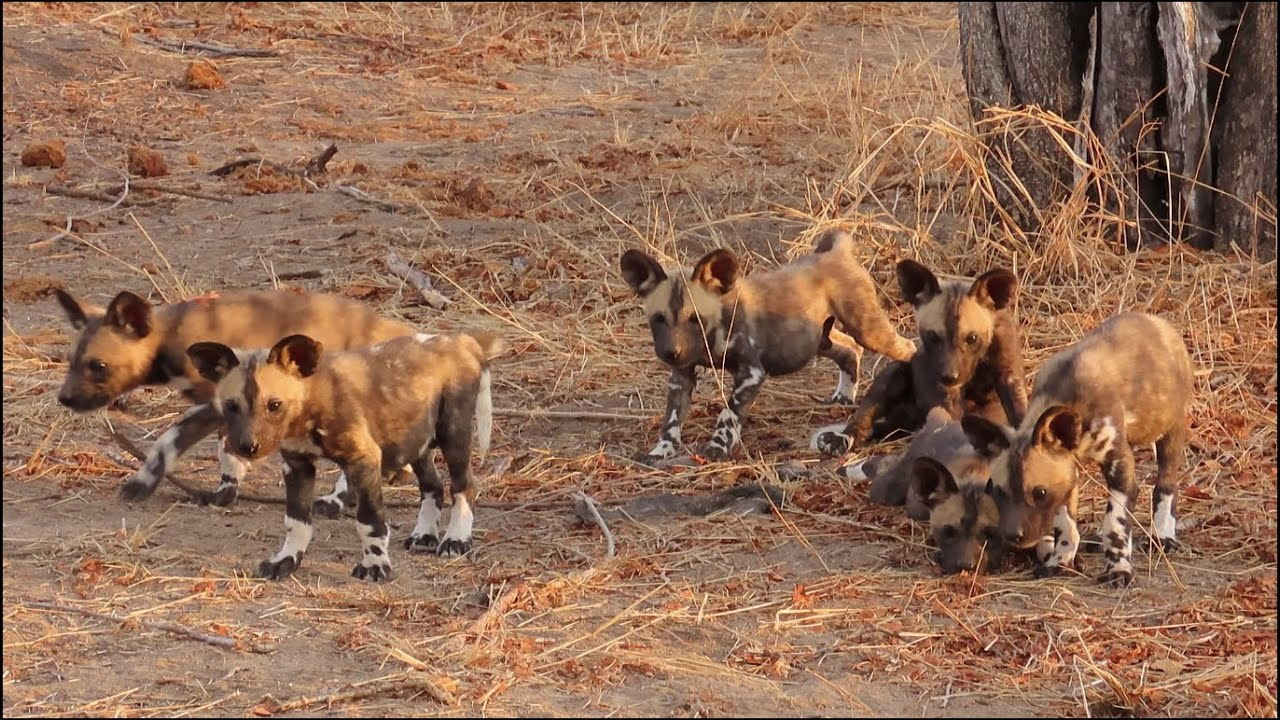 Cute Wild Dog Puppies