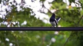 Oriental Magpie Robin bird sing (ចាប)