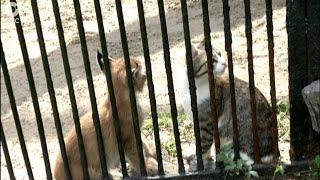 Рысёнка, от которого отказалась мать, взяла на воспитание домашняя кошка