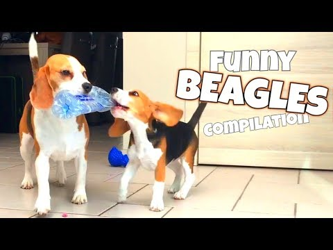Funny BEAGLE Compilation | Louie The Beagle & Puppy Marie