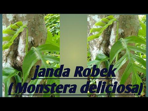 Bunga Janda Robek Monstera Youtube