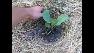 Посадка рассады капусты под мульчу(В этом видео рассказывается об особенностях посадки ранней и поздней рассады капусты в открытый грунт..., 2015-06-16T08:36:39.000Z)