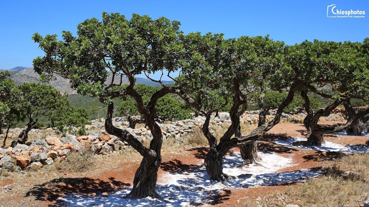 Μαστιχόδενδρο Σχίνος - Mastic Tree - YouTube