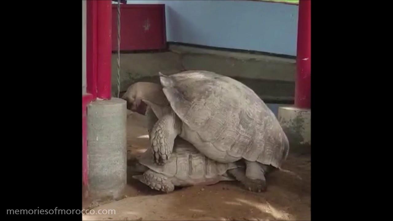 Huge turtles mating in Thailand, Two big turtles having