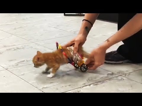 Tiny Paralyzed Kitten Tries Out His New Wheelchair And Can't Stop Zooming Around