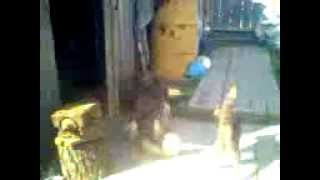 Кошка дала пизды собаке