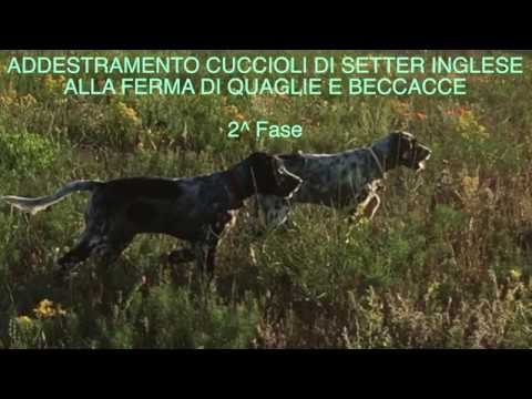 ADDESTRAMENTO CUCCIOLI DI SETTER INGLESE SU QUAGLIE E BECCACCE   II FASE