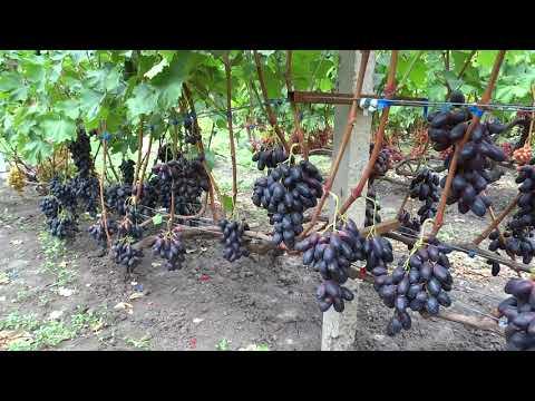 Велика,Атос,Голд фиенгер 16 08 2019г.виноградник Король В.Н.