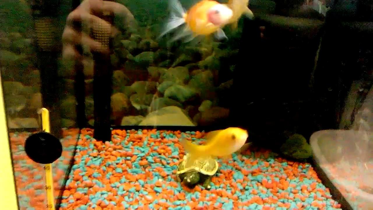 Рыбки Золотая комета, разновидность золотых рыбок.