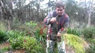 Kangaroo paw cut flower tip