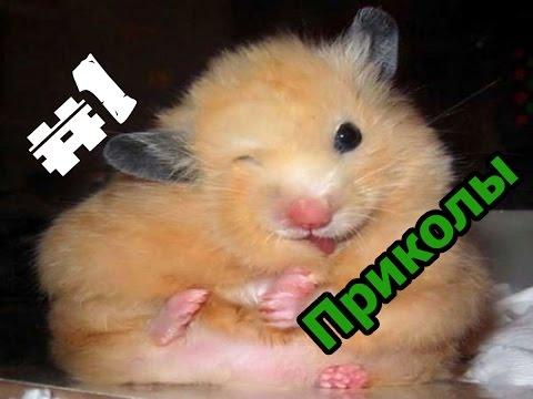 Смешные фото хомяков » Приколы. Фото приколы. Видео