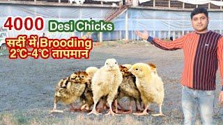 4℃ सर्दी में कैसे करें चूजों की ब्रूडिंग । 4000 desi chicks in my poultry farm | @poultry