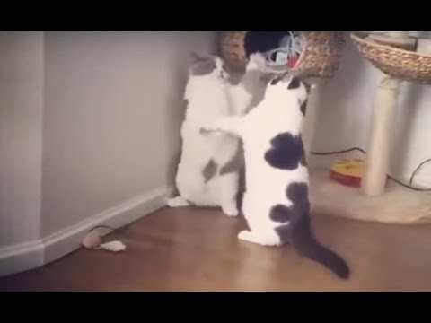 Laziest Cat Fight Ever #laziestcatfight #cats #fight #fail #fatcat