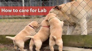 Important Tips on Labrador Care | How to care for Labrador Retriever