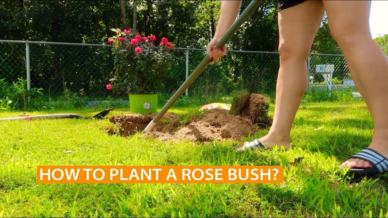 how to plant a rosebush