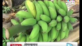 Success story of Kolhapur based Dhananjay Gundes desi banana farming