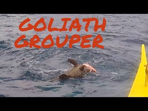 Goliath Grouper Caught Using