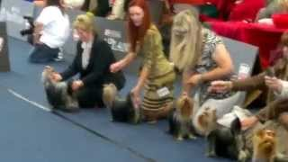 World Dog Show 2012 /wds2012/ Yorkshire Terrier Female Junior Class