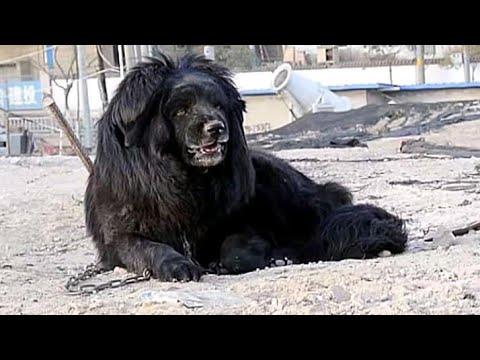 100 % Pure quality Tibetan Mastiff in China