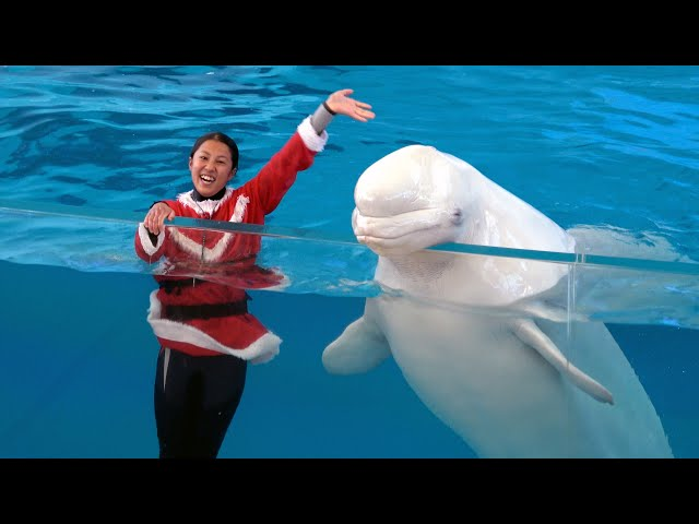 Christmas Version -  Yokohama Hakkeijima Sea Paradise Animal Show 【4K】