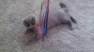 шотландский вислоухий котенок ИГРАЕТ!!! Скоттиш фолд . Skottisc Fold Смешные Животные Funny Cats