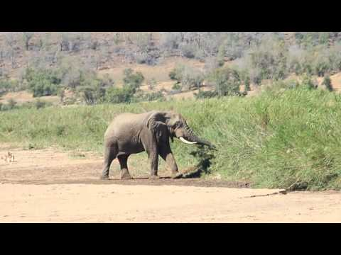 African elephant and a lioness on a dry riverbed in the Hluhluwe–Imfolozi Park