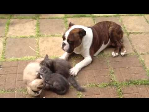 English Bull dog protecting kittens like a boss