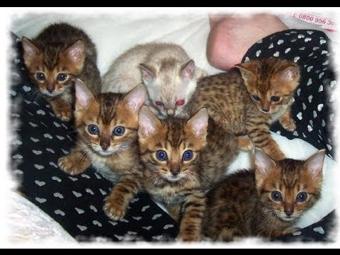 Crazy cute bengal kittens!