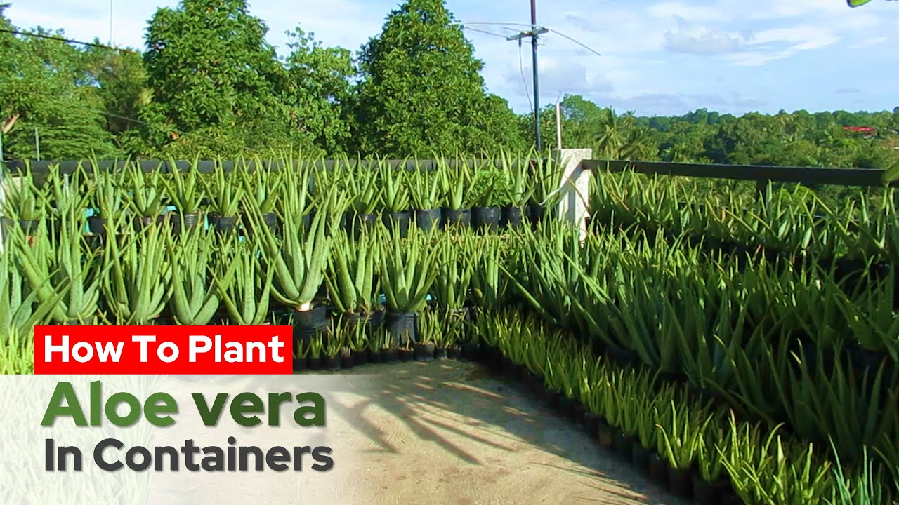 How To Plant Aloe vera in Containers