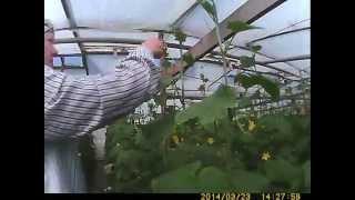 выращивание огурца формирование и подкрутка огурца на шпалере(при выращивании огурца очень важно формирование огурца в конце его роста необходимо прищипать верхушку..., 2014-05-07T16:20:40.000Z)