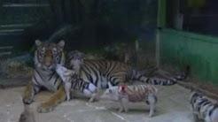 hqdefault - California Tigress Depression Pigs