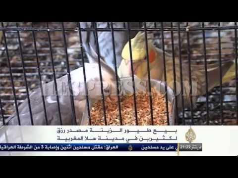 سوق طيور الزينة بسلا