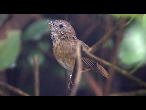91+ Gambar Gambar Burung Wambi Mini Terbaik