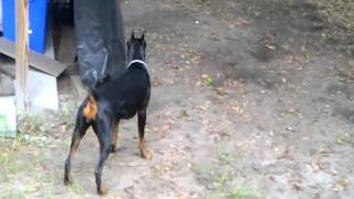 Doberman And Weimaraner Playing