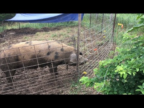 Training Pigs To Electric Fence