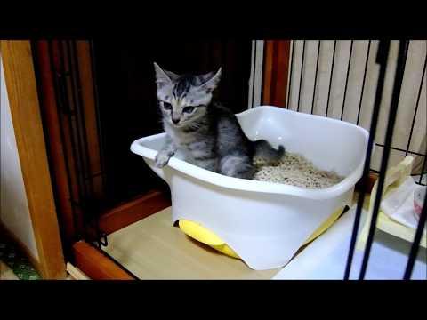 子猫きらら(生後1ヶ月)のとても丁寧なおトイレ