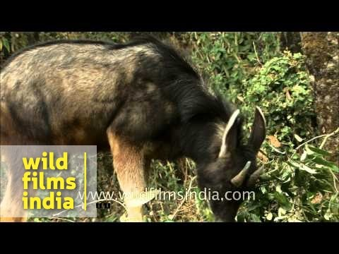 Serow grazing in Himalayan forest