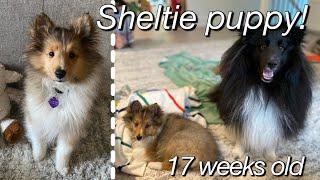 my SHELTIE puppy growing up | 17 week old sheltie