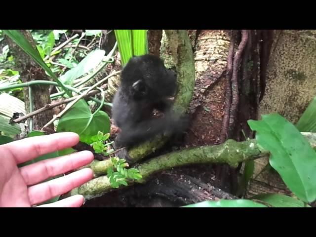 Newborn Howler monkey at BFREE in Belize